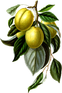 https://openclipart.org/image/300px/svg_to_png/265240/GoldenEsperenPlum.png