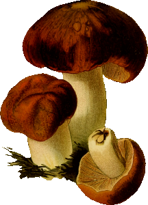 https://openclipart.org/image/300px/svg_to_png/265935/StinkingRussula.png