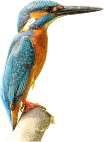 https://openclipart.org/image/300px/svg_to_png/267342/Kingfisher.png