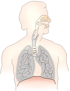 https://openclipart.org/image/300px/svg_to_png/269604/respiratory-system.png