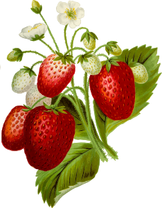 https://openclipart.org/image/300px/svg_to_png/269849/Strawberries2.png