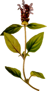 https://openclipart.org/image/300px/svg_to_png/274755/PrunellaVulgaris.png