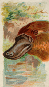 https://openclipart.org/image/300px/svg_to_png/276397/CigCardDuckBilledPlatypus.png
