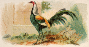 https://openclipart.org/image/300px/svg_to_png/278772/CigCardDuckwingGameFowl.png