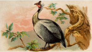 https://openclipart.org/image/300px/svg_to_png/278876/CigCardGuineaFowl.png