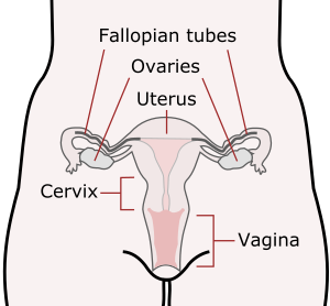 https://openclipart.org/image/300px/svg_to_png/280009/Scheme_female_reproductive_system.png