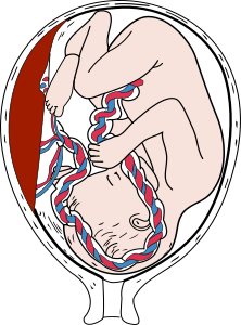 https://openclipart.org/image/300px/svg_to_png/280011/Placenta.png