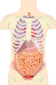 https://openclipart.org/image/300px/svg_to_png/281961/Human-Organs-Torso.png