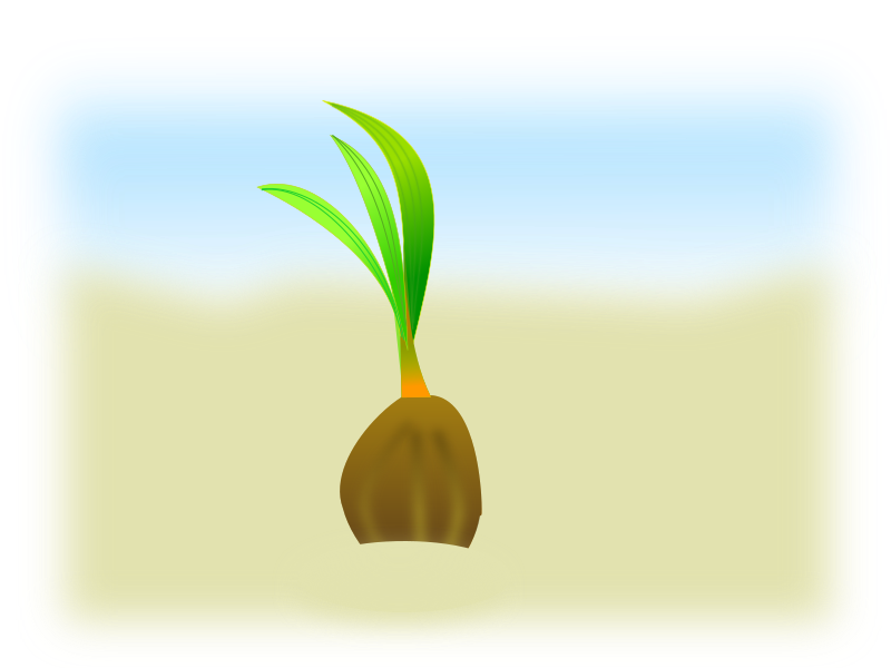 coconut seed