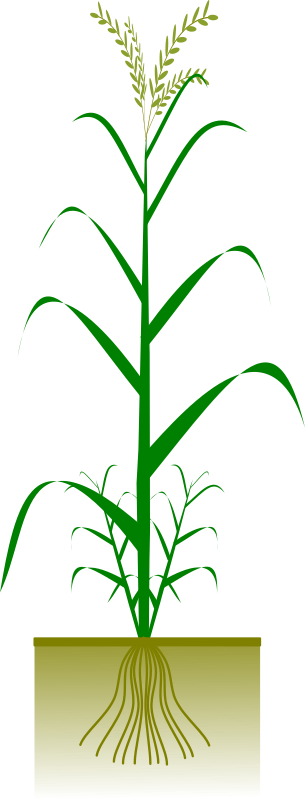 Cereal plant