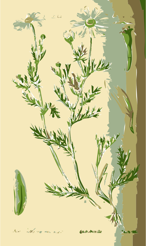 Illustration of the Anthemis Flower
