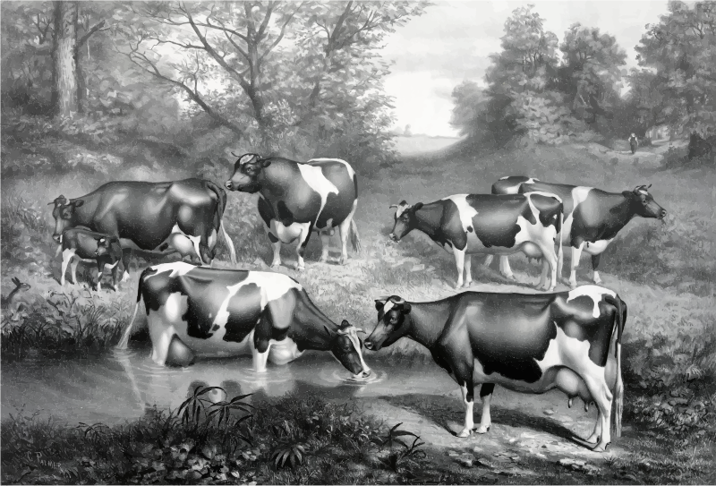 Vintage Fresian Cows In Pasture