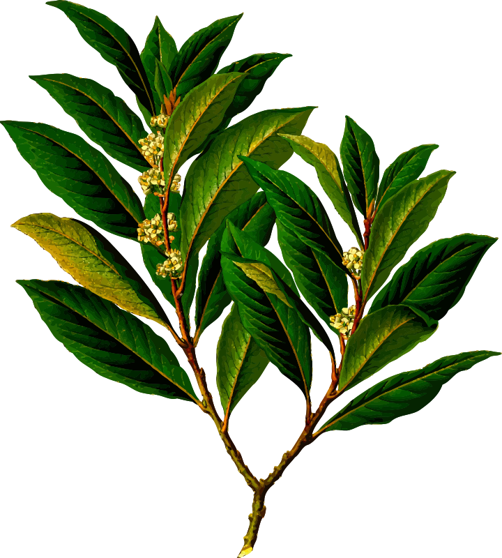 Bay laurel (detailed)