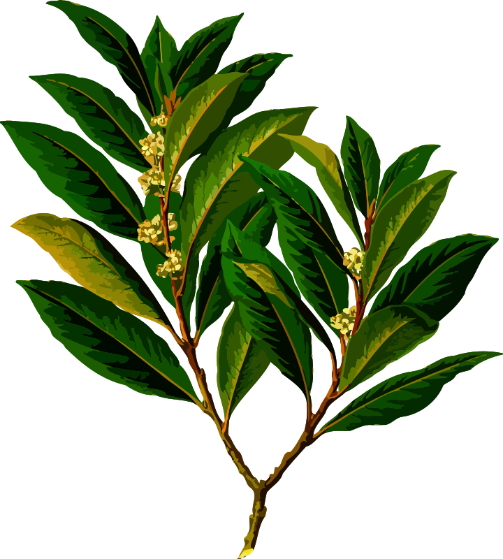 Bay laurel (low resolution)