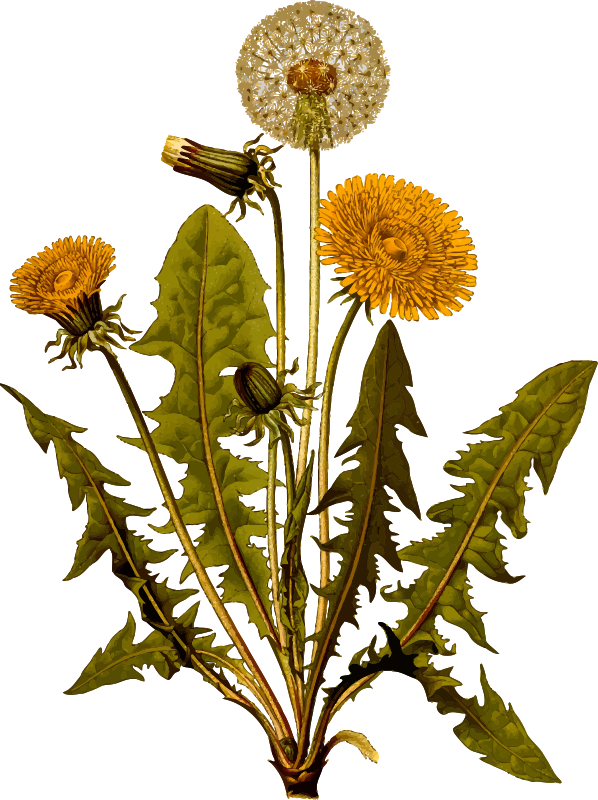 Common dandelion (detailed)
