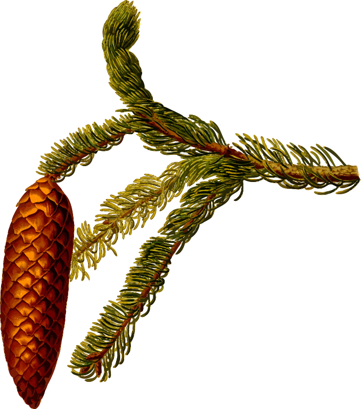 Common spruce (detailed)