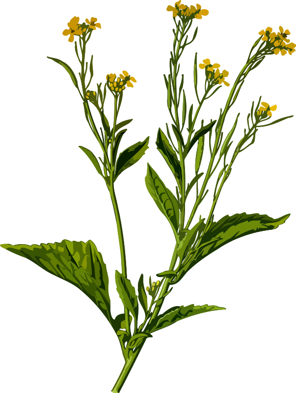 Mustard greens (low resolution)