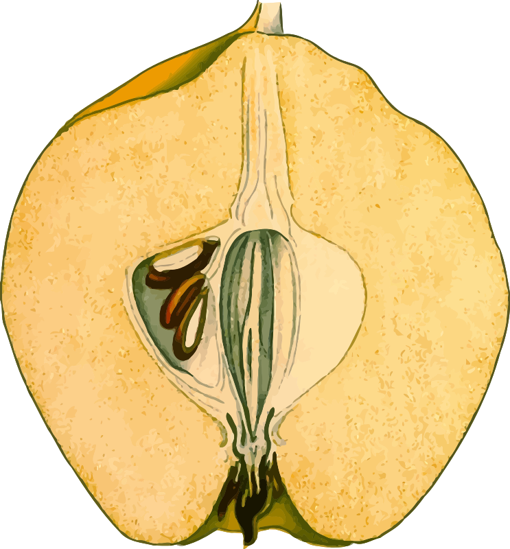 Half-quince (detailed)