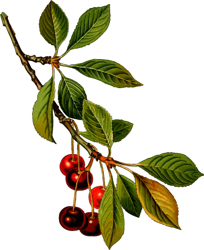 Sour cherry tree 2 (detailed)