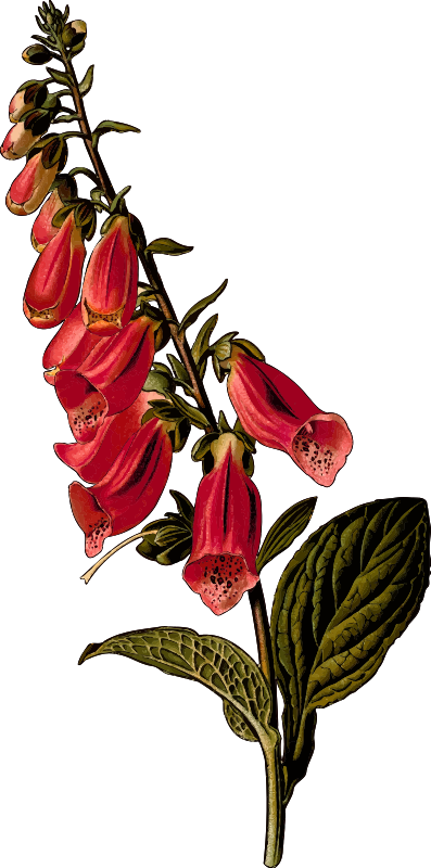 Foxglove (detailed)