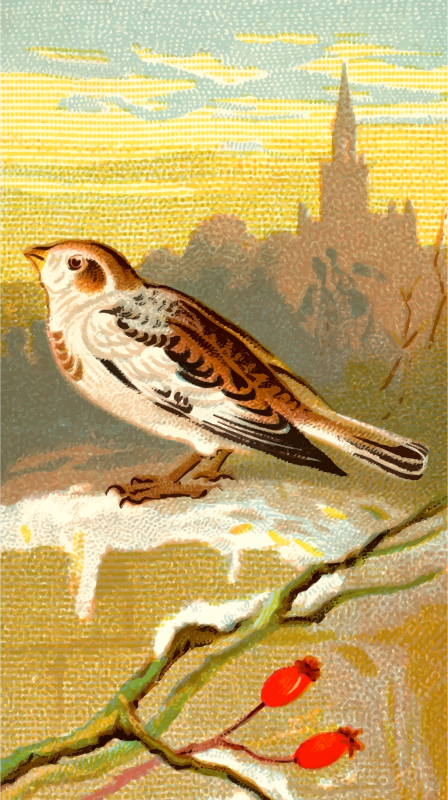 Cigarette card - Snow Bunting