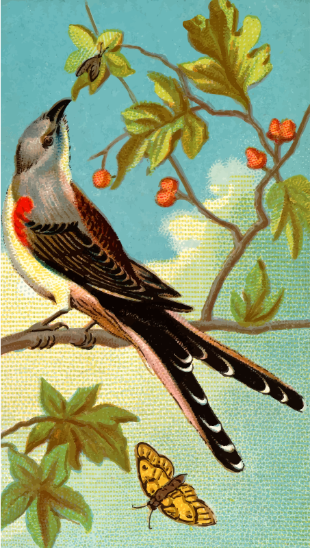 Cigarette card - Swallow-Tailed Flycatcher