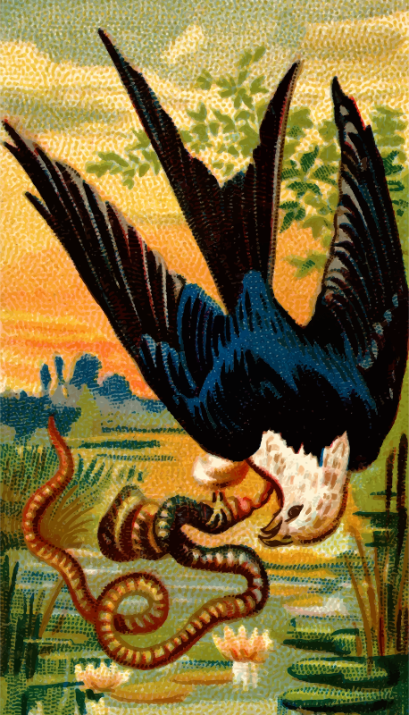 Cigarette card - Swallow-tailed hawk