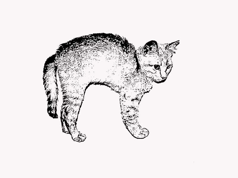 Tabby Kitten with Arched Back