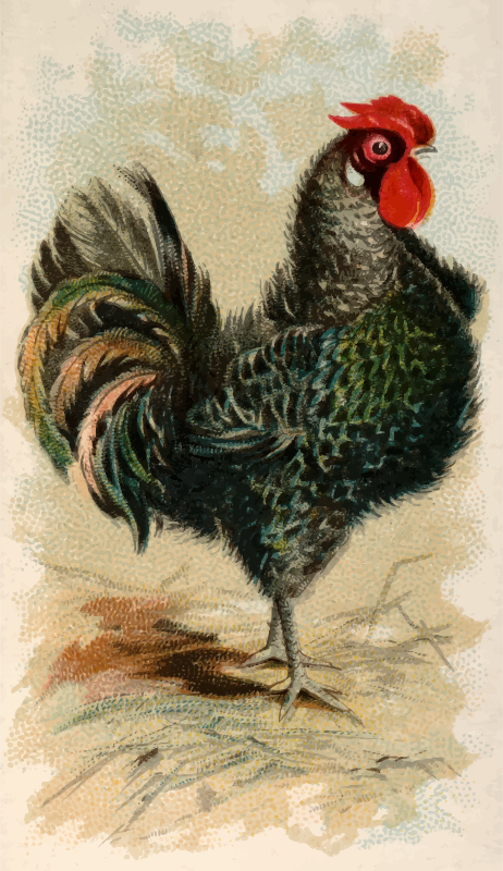 Cigaretted card - Black Frizzled Fowl