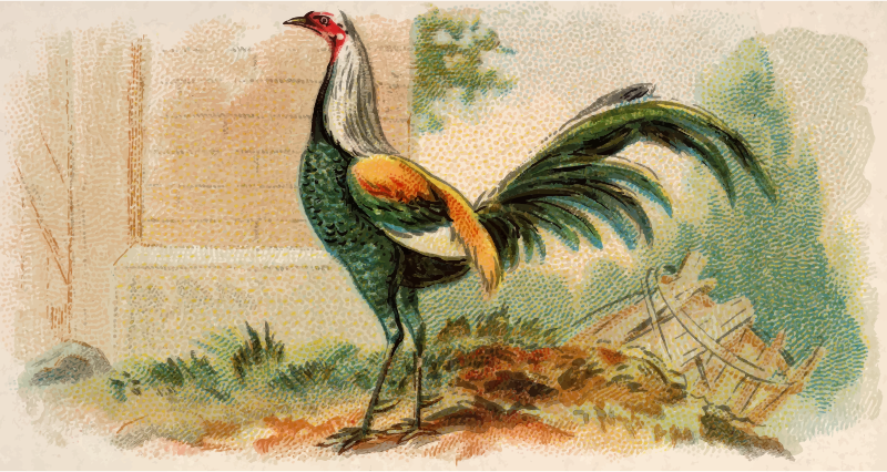 Cigarette card - Duckwing Game Fowl