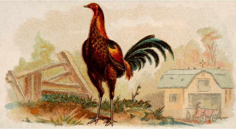 Cigarette card - Brown Breasted Red Game Cock