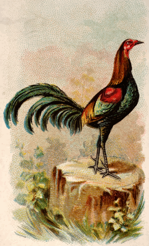Cigarette card - Black Breasted Red Game Cock