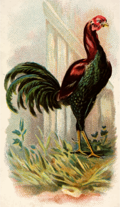 Cigarette card - Malay Cock
