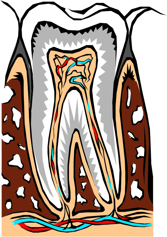 Tooth Cross Section Illustration