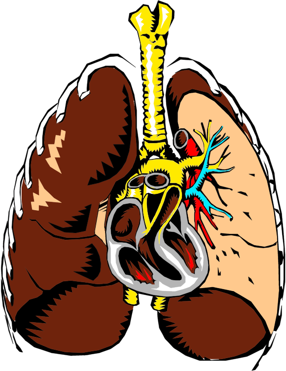 Lungs Cross Section Illustration