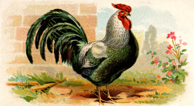 Cigarette card - Rose-Combed Dorking Cock