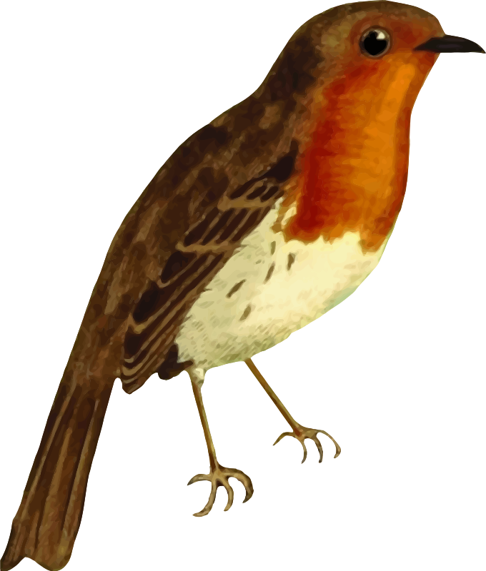 European robin (isolated)
