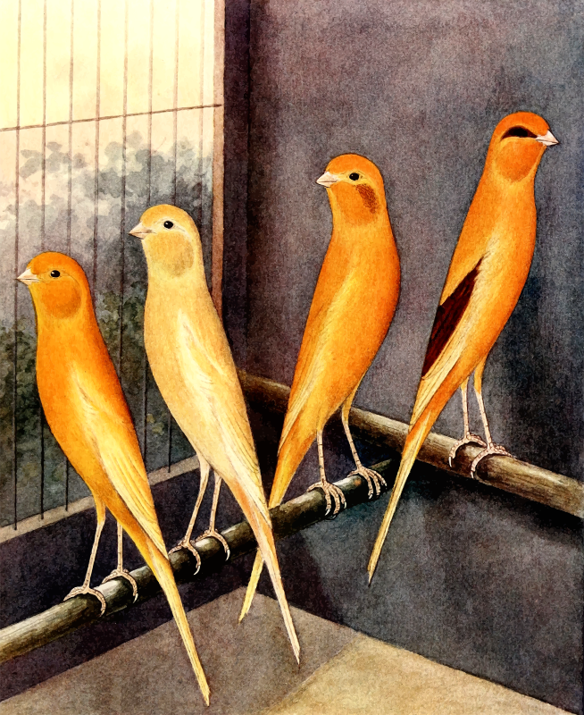 Yorkshire canaries