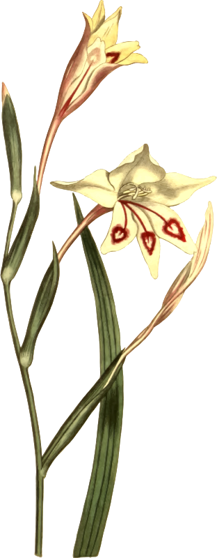 Short-Leaved Ixia