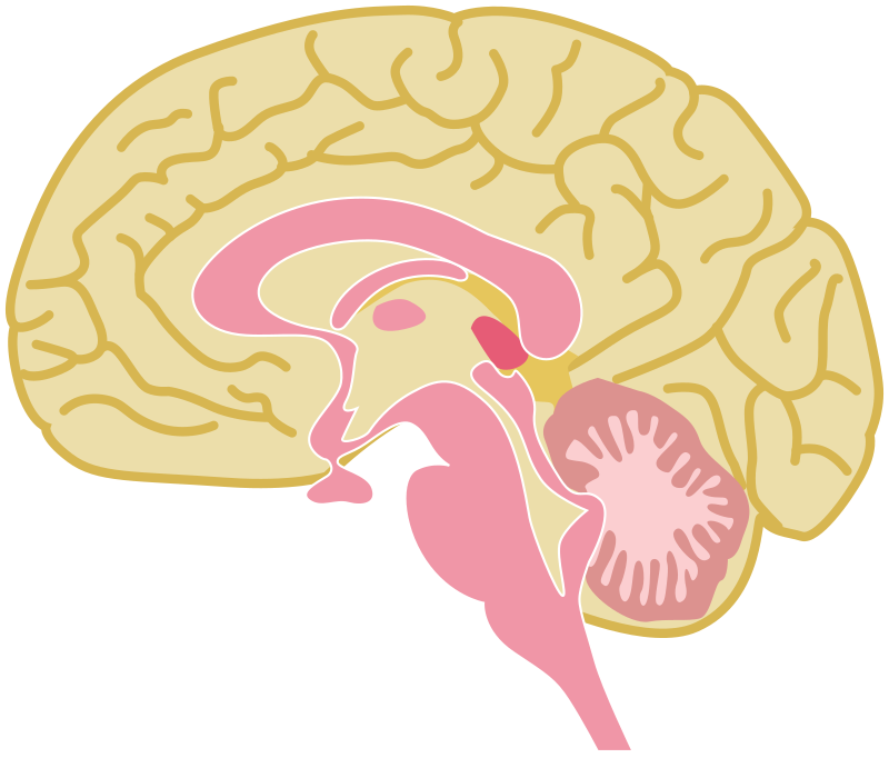 Human brain drawing