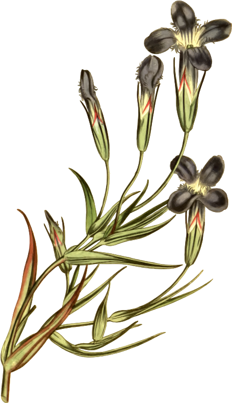 Fringed-flowered gentian