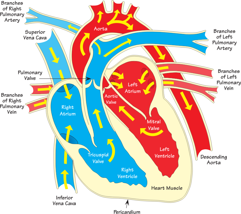Heart diagram 2 (annotated)