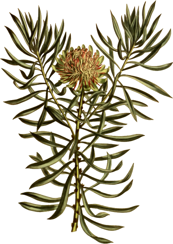 Small smooth-leaved protea