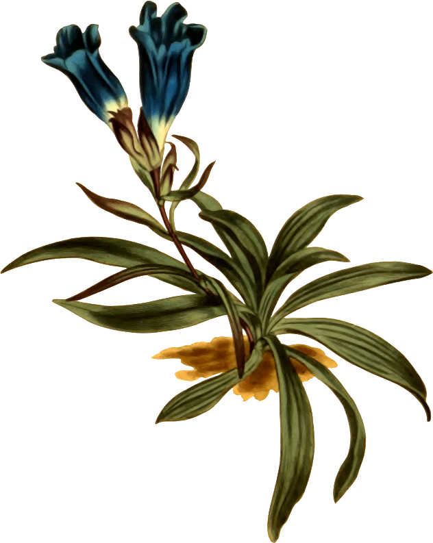 Dwarf porcelain-flowered gentian