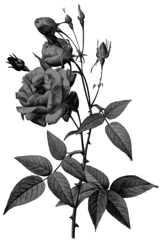 Redoute - Rosa indica vulgaris - grayscale