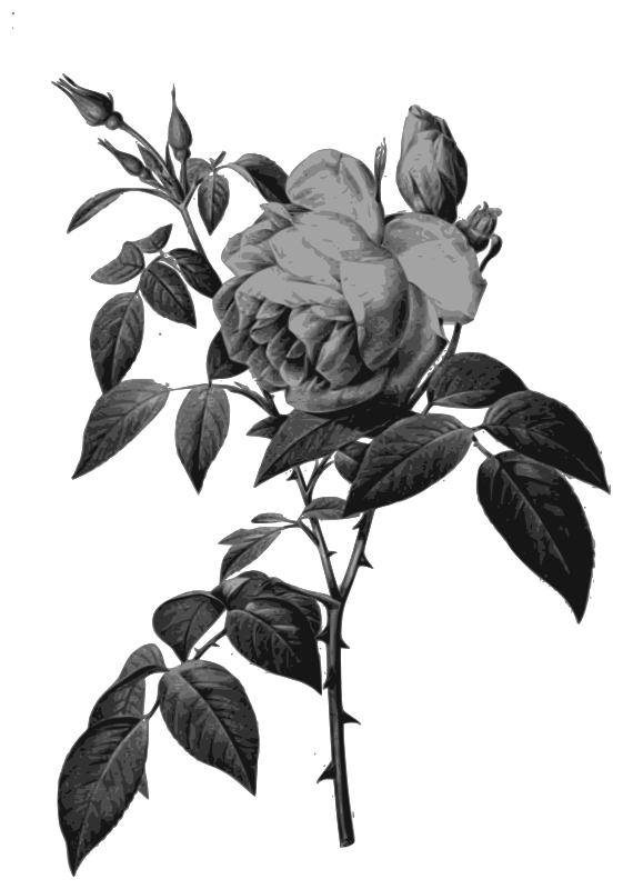 Redoute - Rosa indica fragrans - grayscale