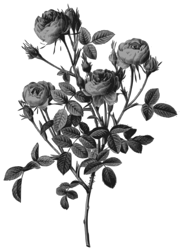 Redoute - Rosa pomponia - grayscale