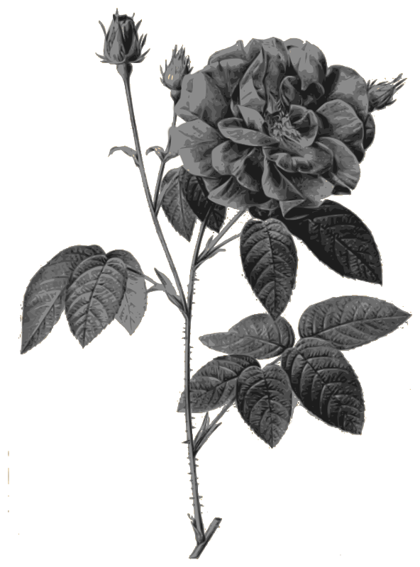 Redoute - Rosa gallica officinalis - grayscale
