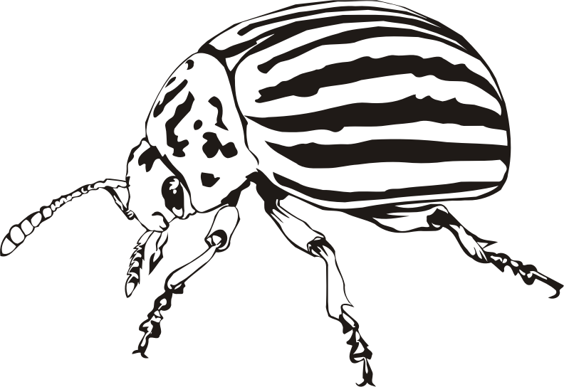 Colorado beetle (outline)