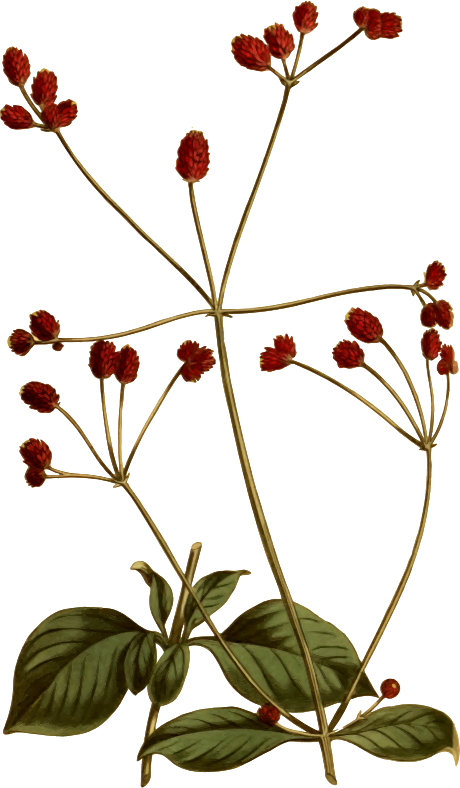 Crimson-headed achyranthes